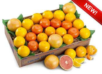 Artful arrangement of oranges, tangerines, tangelos and red grapefruit.