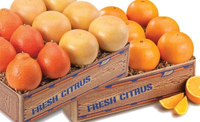Trio of Honeybells, Navel Oranges and Ruby Red Grapefruit.