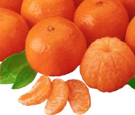Florida Temple Oranges, juicy and flavorful.